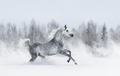 Purebred grey arabian horse galloping during blizzard. - PhotoDune Item for Sale
