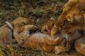 lion - PhotoDune Item for Sale