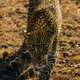 leopard - PhotoDune Item for Sale