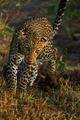 leopard - PhotoDune Item for Sale