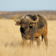 African buffalo in grassland - PhotoDune Item for Sale