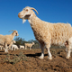 Angora goats on rural farm - PhotoDune Item for Sale