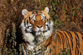 Bengal tiger portrait - PhotoDune Item for Sale