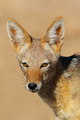 Black-backed Jackal portrait - PhotoDune Item for Sale