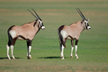 Young gemsbok antelopes - PhotoDune Item for Sale