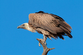 White-backed vulture - PhotoDune Item for Sale