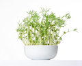 Sweet lupin bean seedlings in white bowl, front view - PhotoDune Item for Sale