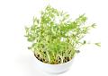 Sweet lupin bean seedlings in white bowl - PhotoDune Item for Sale