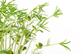 Sweet lupin bean seedlings on white background - PhotoDune Item for Sale