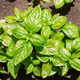 Basil plants above - PhotoDune Item for Sale