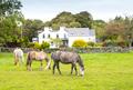 Irish Horses Grazing - PhotoDune Item for Sale