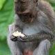 Cute Macaque in Ubud, Bali - PhotoDune Item for Sale
