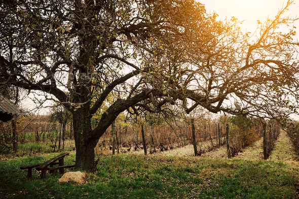 Wineyard - Stock Photo - Images