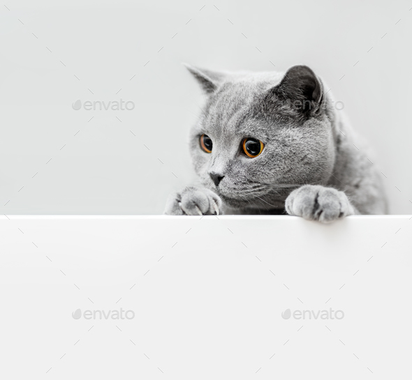 Cute playful grey cat leaning out - Stock Photo - Images