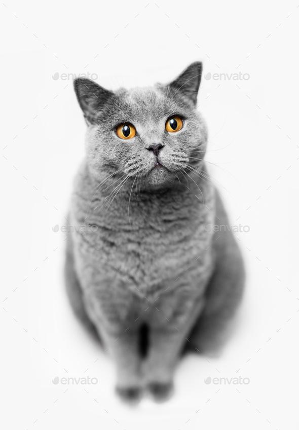 Fluffy Grey Cat Sitting On White Background Stock Photo By Photocreo