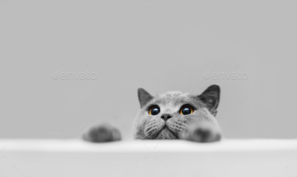 Playful grey purebred cat peeking out. - Stock Photo - Images