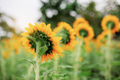 Sunflower with natural at sunlight - PhotoDune Item for Sale