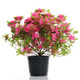 vase with blossom azalea - PhotoDune Item for Sale