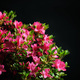 blossom azalea - PhotoDune Item for Sale