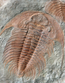 Fossil of a trilobites from the early ordovician period found in - PhotoDune Item for Sale