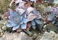 Echeveria cante - succulent - PhotoDune Item for Sale