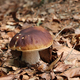 King boletus - edible mushroom - PhotoDune Item for Sale