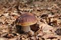 King boletus - edible mushroom - PhotoDune Item for Sale