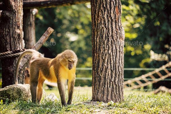 Golden-bellied mangabey - Stock Photo - Images