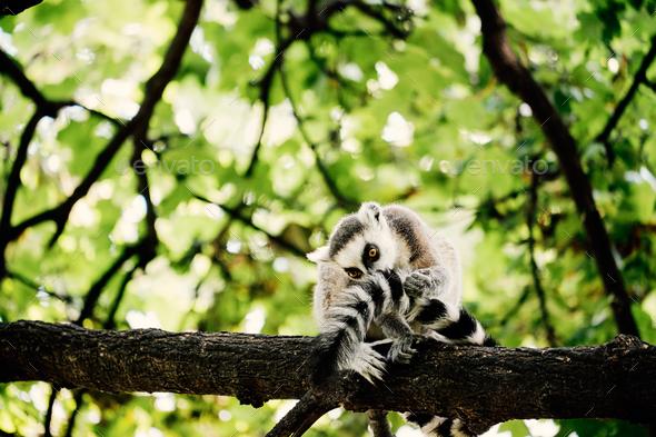 Lemur on tree - Stock Photo - Images