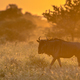 Savanna Orange light with wildebeest on S100 Kruger - PhotoDune Item for Sale