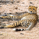 Cheetah resting - PhotoDune Item for Sale