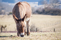 Donkey eating grass in a field - PhotoDune Item for Sale