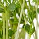 Sweet lupin bean seedlings, macro, front view - PhotoDune Item for Sale