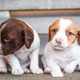 Two cute spaniel puppies sitting on a bench - PhotoDune Item for Sale