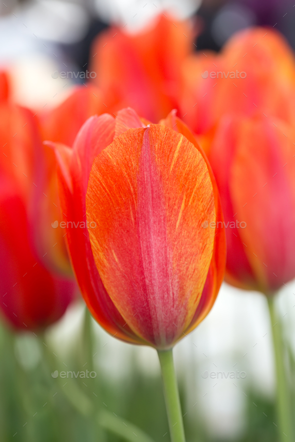 Tulip close-up - Stock Photo - Images