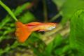 Portrait of aquarium fish - guppy (Poecilia reticulata) in aquarium - PhotoDune Item for Sale