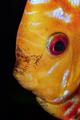 Portrait of discus fish (Sympysodon) on a black background - PhotoDune Item for Sale