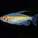 Portrait of aquarium fish - Congo tetra (Phenacogrammus interruptus) on black background - PhotoDune Item for Sale