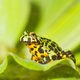 Frog Oriental fire-bellied toad (Bombina orientalis) sitting on green leaf - PhotoDune Item for Sale