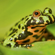 Frog Oriental fire-bellied toad (Bombina orientalis) sitting on green leaf - PhotoDune Item for Sale