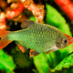 Portrait of aquarium fish - Sumatra barb (Puntigrus tetrazona) in aquarium - PhotoDune Item for Sale