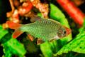 Portrait of aquarium fish - Sumatra barb (Puntigrus tetrazona) in aquarium - PhotoDune Item for Sale