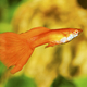 Portrait of aquarium fish - guppy (Poecilia reticulata) in aquarium - PhotoDune Item for Sale
