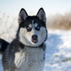 siberian husky is walking - PhotoDune Item for Sale