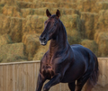 Lusitano horse in motion on nature background at sunset light. - PhotoDune Item for Sale