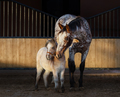 Appaloosa horse and American miniature horse in paddock at sunse - PhotoDune Item for Sale