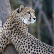 Cheetah on a tree - PhotoDune Item for Sale