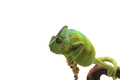 Veiled Chameleon isolated on white background - PhotoDune Item for Sale