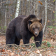 Bear in autumn forest - PhotoDune Item for Sale