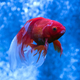 Gold fish in an aquarium - PhotoDune Item for Sale